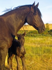 strydr foal 1 he